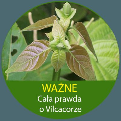 cicură băutură cu varicoză tratamentul de iarbă varicoză mici pelvis